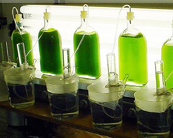 hydrogen from algae