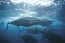 bluefin tuna fisheries