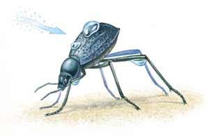 namib desert beetle harvesting water