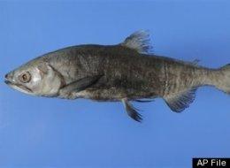 threatened fish