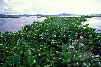 water hyacinth, Lake Victoria