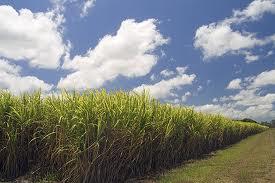 sugar cane malelane