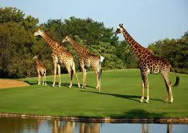 green golfing