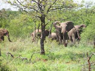 charging elephant herd original footage